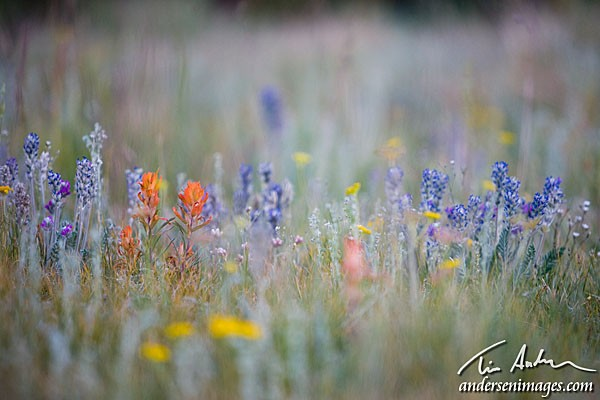 Featured Photo: Colorado Wildflowers